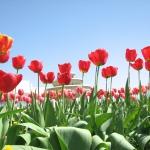 Тюльпани міста